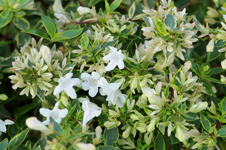 Abelia x grandiflora &#8216;Sunshine Daydream&#8217;